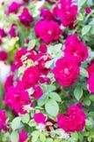 Rosas vermelhas chiques Bush de rosas vermelhas Fotografia de Stock