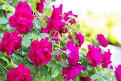 Rosas vermelhas chiques Bush de rosas vermelhas Imagem de Stock Royalty Free