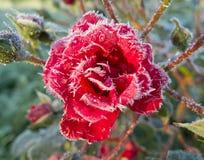 Rosas vermelhas cobertas com a geada fotografia de stock royalty free