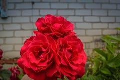 Rosas vermelhas com folhas verdes Imagens de Stock Royalty Free