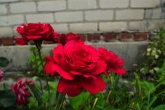 Rosas vermelhas com folhas verdes Fotos de Stock