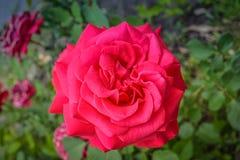 Rosas vermelhas com folhas verdes Imagem de Stock Royalty Free
