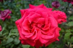 Rosas vermelhas com folhas verdes Imagem de Stock