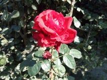 Rosas vermelhas de florescência fotografia de stock