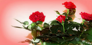 Rosas vermelhas do amor, mini Imagens de Stock Royalty Free