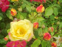 Rosas vermelhas e amarelas 4 fotografia de stock