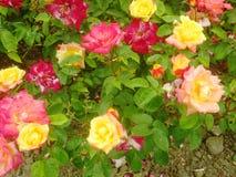 Rosas vermelhas e amarelas 1 fotografia de stock