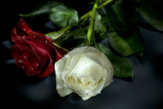 Rosas vermelhas e brancas imagem de stock