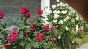 Rosas vermelhas e brancas Foto de Stock Royalty Free
