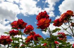 Rosas vermelhas e céu azul Imagem de Stock