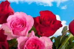 Rosas vermelhas e cor-de-rosa Imagens de Stock