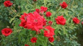 Rosas vermelhas e corações quebrados Fotografia de Stock Royalty Free