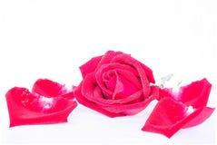 Rosas vermelhas em um fundo branco Fotos de Stock Royalty Free