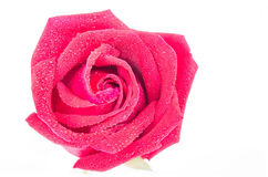 Rosas vermelhas em um fundo branco Imagens de Stock Royalty Free