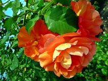 Rosas vermelhas em um fundo das folhas verdes Foto de Stock