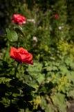 Rosas vermelhas em um jardim Fotografia de Stock