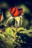 Rosas vermelhas maravilhosas foto de stock royalty free