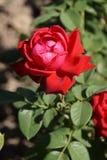Rosas vermelhas maravilhosas fotos de stock royalty free