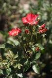 Rosas vermelhas maravilhosas imagens de stock royalty free