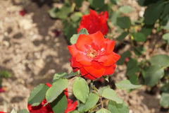 Rosas vermelhas maravilhosas fotos de stock