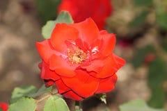 Rosas vermelhas maravilhosas fotografia de stock royalty free