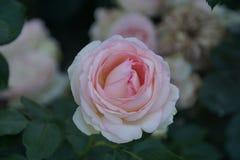 Rosas vermelhas maravilhosas foto de stock