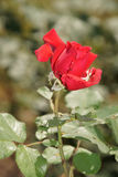 Rosas vermelhas maravilhosas imagens de stock