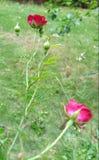Rosas vermelhas minúsculas Imagem de Stock