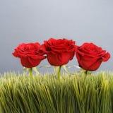 Rosas vermelhas na grama. Imagem de Stock