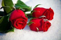 Rosas vermelhas na neve. Fotos de Stock