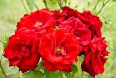 Rosas vermelhas no arbusto do jardim fotos de stock royalty free