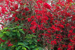 Rosas vermelhas no arbusto no jardim Fotos de Stock