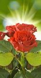 Rosas vermelhas no fundo borrado fotos de stock