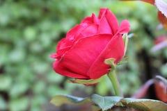 Rosas vermelhas no fundo verde, praia da cidade de Chernomoretz Fotografia de Stock Royalty Free