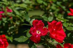 Rosas vermelhas que florescem na primavera tempo Fotografia de Stock Royalty Free