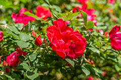 Rosas vermelhas que florescem na primavera tempo Foto de Stock