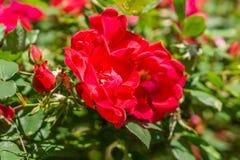 Rosas vermelhas que florescem na primavera tempo Foto de Stock Royalty Free