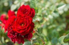 Rosas vermelhas que florescem no jardim fotos de stock