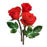 Rosas vermelhas realísticas isoladas no fundo branco Foto de Stock Royalty Free