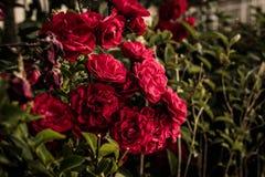 Rosas vermelhas selvagens Foto de Stock Royalty Free