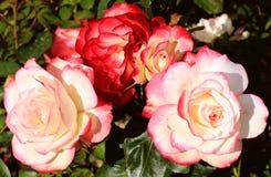 rosas Vermelho-brancas Imagem de Stock Royalty Free