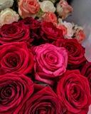 rosas fotos de stock royalty free