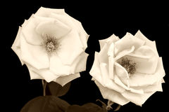 Rosas viejas foto de archivo