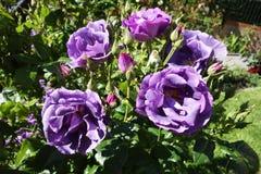 Rosas violetas Imagen de archivo