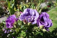 Rosas violetas Imágenes de archivo libres de regalías