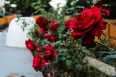 Rosas vivas de la col roja fotografía de archivo