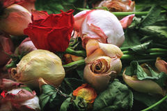 Rosas Withered fotografia de stock royalty free