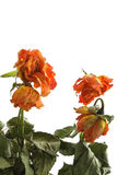 Rosas Withered imagens de stock