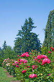 Rosas y árboles de hoja perenne verticales Fotos de archivo