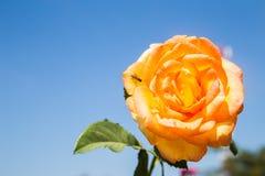 Rosas y abeja anaranjadas Foto de archivo libre de regalías
